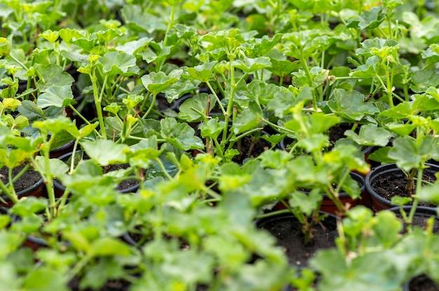 Close up de mudas verdes