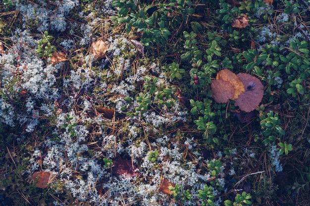 Close up de musgo de rena, líquen, galhos e agulhas de pinheiro, com fundo de textura musgosa. zona boreal do ártico, natureza da carélia. foco seletivo, fotografia de estoque de fundo desfocado