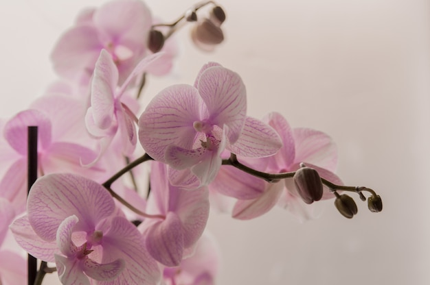 Close-up de orquídeas cor-de-rosa no fundo abstrato claro. orquídea cor-de-rosa no pote no fundo branco. imagem de amor e beleza. fundo natural e elemento de design.