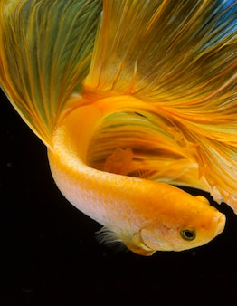 Close-up de peixe betta amarelo no preto