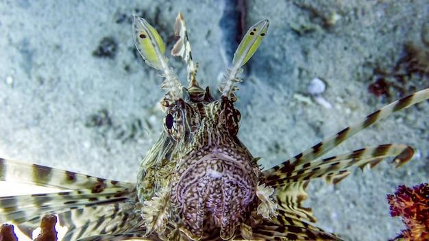 Close-up de peixe-leão no mar vermelho, eilat, israel
