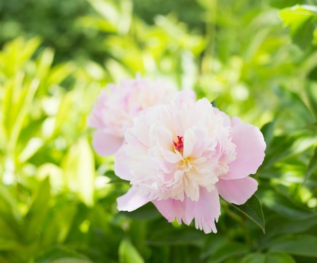 Close-up de peônia cor-de-rosa.