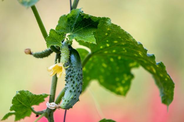 Close-up de pepinos bonitos, grandes e pequenos, com flores secas e folhas verdes, iluminadas pelo sol