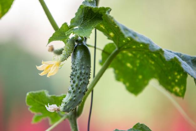 Close-up de pepinos bonitos