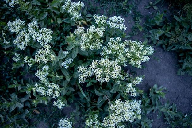 Close up de pequenas flores brancas selvagens fundo de flores