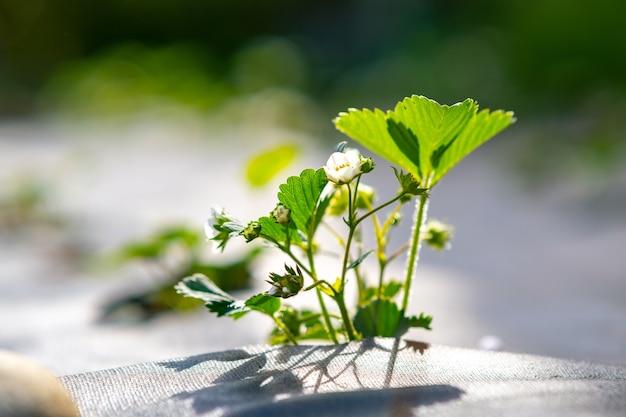Close up de pequenas plantas verdes de morango com flores brancas crescendo ao ar livre no jardim de verão.