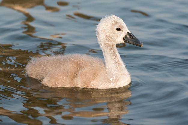 Close-up de pequeno cisne na primavera no lago