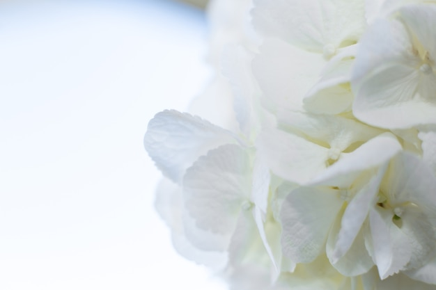 Close up de pétalas de hortênsia branca
