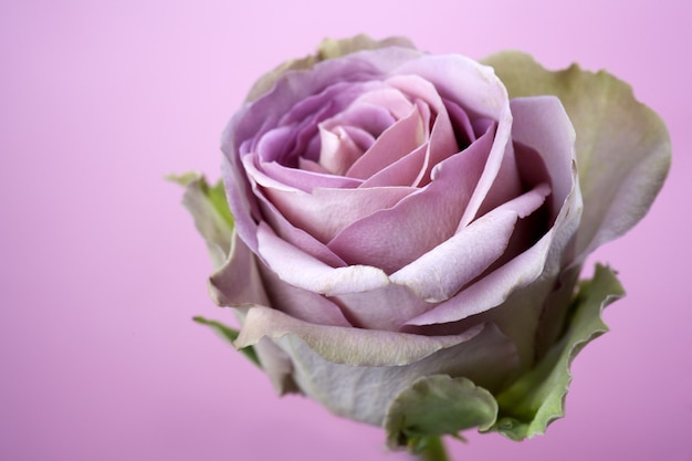 Close-up de pétalas de rosa roxas