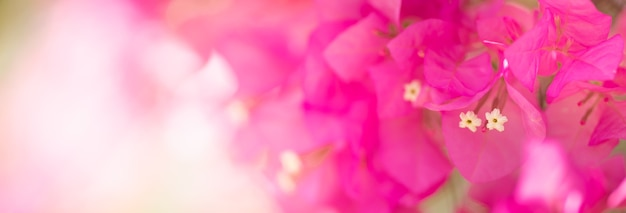 Close up de plantas da flora natural da flor rosa bougainvillea, conceito de página de capa de ecologia.