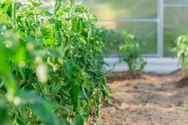Close-up de plantas de tomate crescendo em estufa