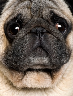 Close-up de pug, 4 anos