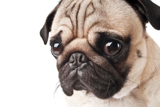 Close-up de pug