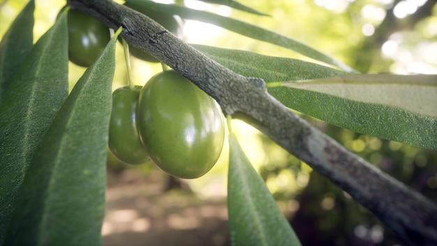 Close-up de ramo de oliveira com folhas e azeitonas