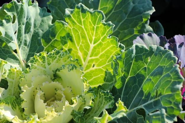 Close up de repolho ornamental deixa lats latina à luz do sol como pano de fundo natural.