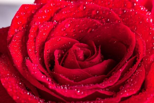 Close-up de rosa vermelha com gotas de água.