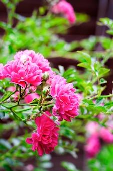 Close-up de rosas de escalada