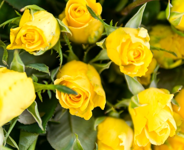 Close-up de rosas frescas naturais