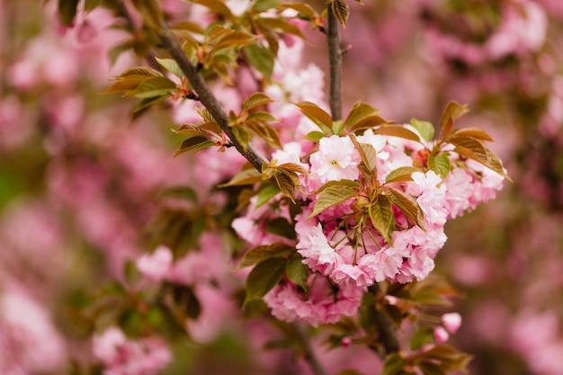Close up de sakura florescendo galho na árvore, flores rosa frágeis,