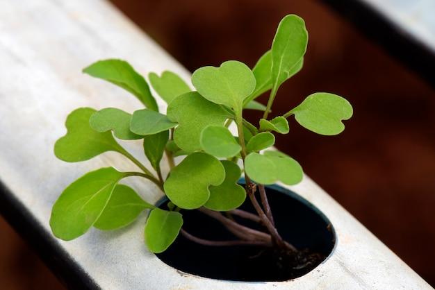 Close-up, de, salada foguete, plantar, por, hydroponics, sistema