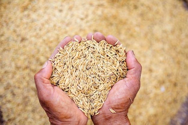 Close up de semente de arroz de jasmim na mão do agricultor no fundo do arroz