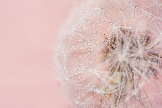 Close-up de sementes de dente de leão em fundo colorido