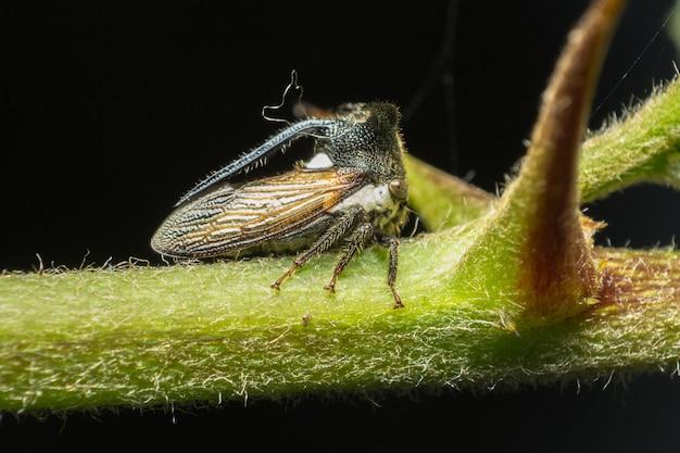 Close up de strang treehoppe e foco seletivo no lado direito