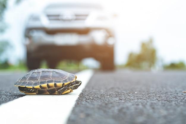 Close-up de tartaruga atravessando a rua