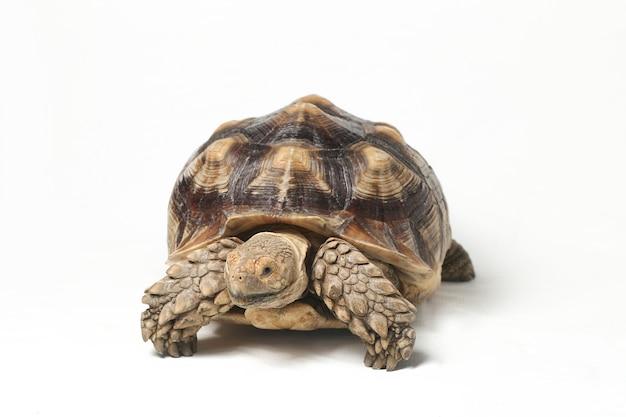 Close-up de tartaruga de esporas africana