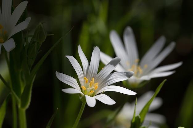 Close up de três chickweeds brancas lado a lado