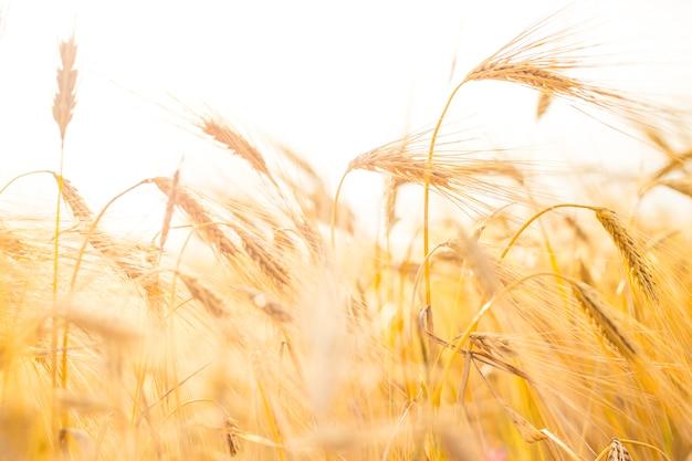 Close-up de trigo.