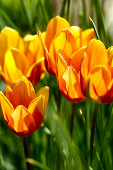 Close up de tulipas de laranja