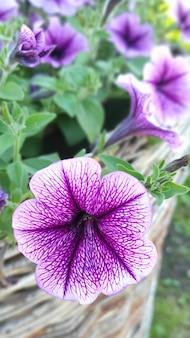 Close up de um buquê de petúnias roxas em um fundo natural no jardim