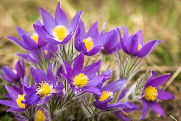 Close-up, de, um, bush, pasque-flower, crescendo, em, a, floresta