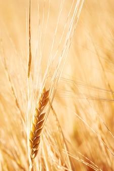 Close-up de um campo de trigo dourado e dia ensolarado.
