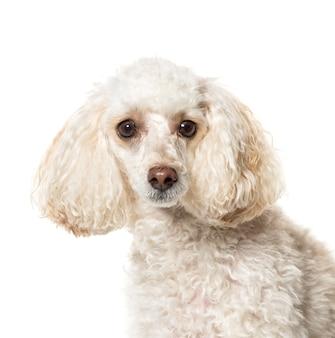 Close-up de um cão poodle branco