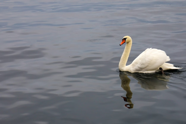 Close-up de um cisne branco no rio