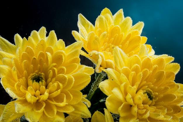 Close-up de um crisântemo amarelo fresco, coberto com gotas de água em um preto