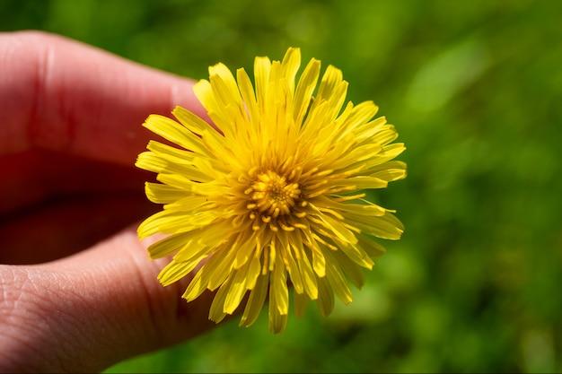 Close-up de um dente de leão amarelo na sua mão. fundo desfocado. a chegada da primavera e o aparecimento das flores, a primavera
