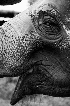 Close up de um elefante tailandês