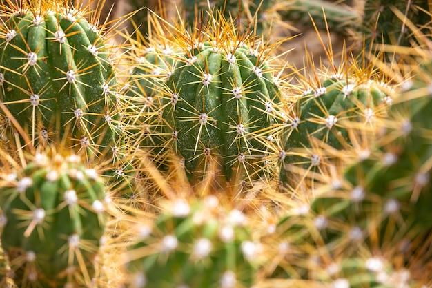 Close up de um enorme arrenge de cactos em um jardim botânico, conceito de natureza