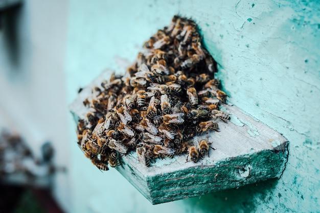 Close-up de um enxame de abelhas em uma colmeia de madeira em um apiário.