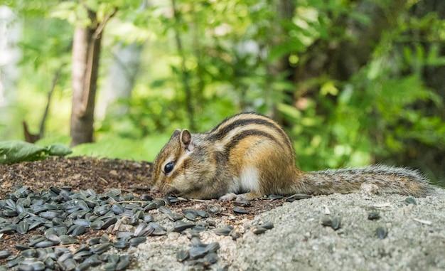 Close-up de um esquilo com uma pilha de sementes em árvores verdes na natureza
