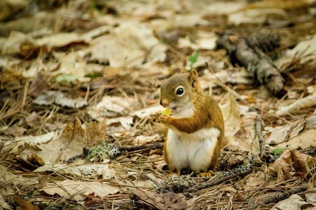 Close up de um esquilo em pé nas folhas amarelas com um fundo desfocado