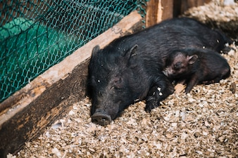 Close-up, de, um, femininas, porca, dormir, com, porquinhos, em, a, fazenda