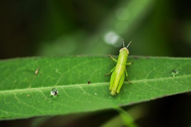 Close up de um gafanhoto com gotas de água na folha verde