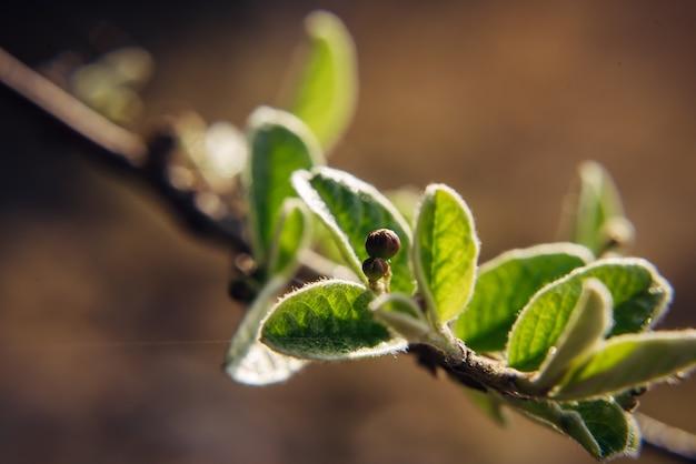 Close-up de um galho de árvore com folhas verdes jovens, fundo desfocado. folhagem de primavera, fotografia macro.