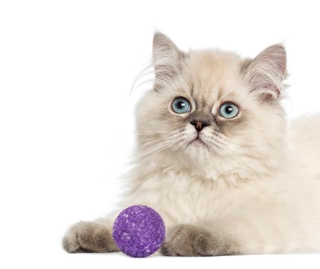 Close-up de um gatinho de cabelos compridos britânico com bola roxa