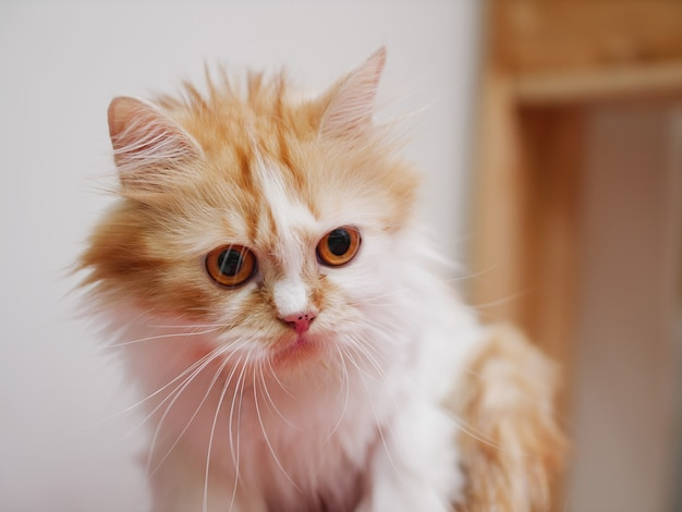 Close up de um gatinho persa olhando para longe