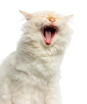 Close-up de um gato birman bocejando isolado no branco